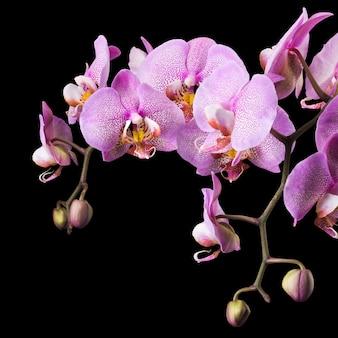 Oddział różowy phalaenopsis lub moth orchid z rodziny orchidaceae na białym na czarnym tle ze ścieżką przycinającą