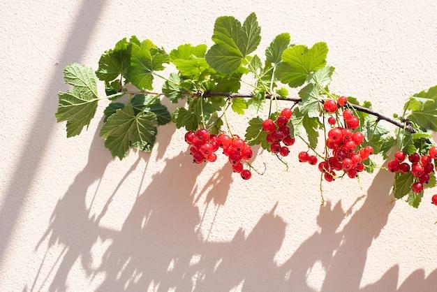 Oddział z dojrzałymi jagodami czerwonej porzeczki na białej ścianie z pięknym cieniem w promieniach jasnego słońca, z bliska.
