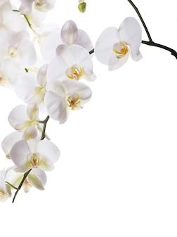 Oddział z pięknymi tropikalnymi kwiatami orchidei na białym tle
