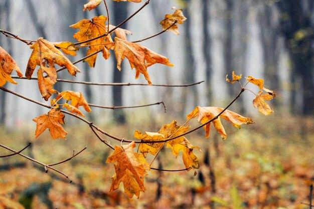 Oddział z pomarańczy suszonych liści klonu w lesie jesienią