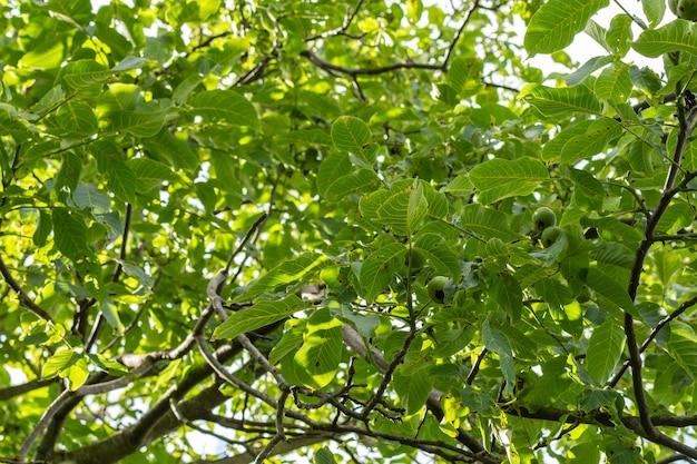 Oddział z zielonymi niedojrzałymi orzechami włoskimi