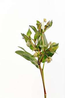 Oddział zielony kwiat ciemiernika na białej ścianie, selektywne fokus