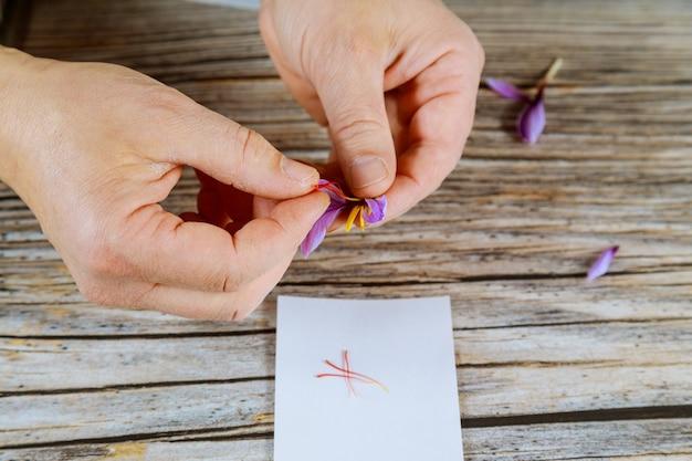 Oddzielenie pręcików od szafranu kwiatowego.