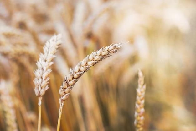Oddzielne łodygi na rozmytym tle pola pszenicy