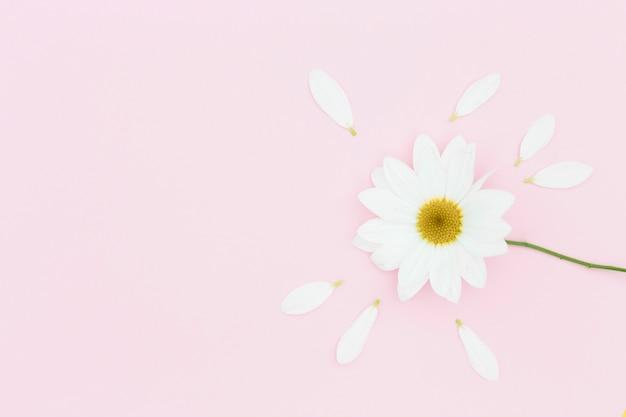 Odgórnego widoku biała stokrotka na różowym tle