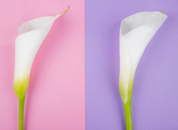 Odgórny widok białe kalii leluje odizolowywać na kolorowym tle