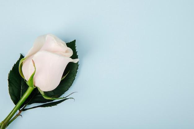 Odgórny widok biały kolor róża odizolowywająca na błękitnym tle z kopii przestrzenią