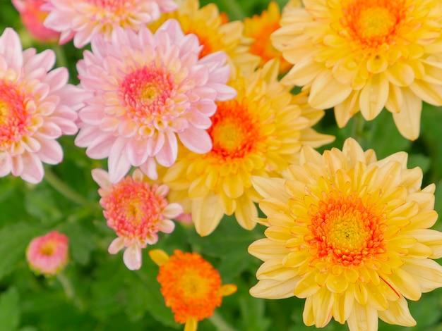 Odgórny widok chryzantema kwiatu kwiat piękny, kolorowy kwiat w ogródzie