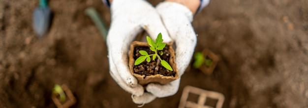 Odgórny widok ogrodniczka trzyma małej rozsady w papierowym garnku