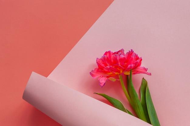 Odgórny widok piękny świeży czerwony tulipan w papierowym zawijasa tle