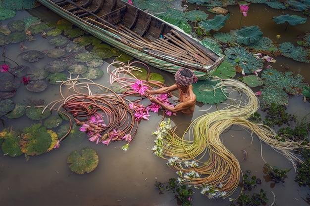 Odgórny widok starego człowieka wietnamczyk podnosi up pięknego różowego lotosu w jeziorze przy vietnam
