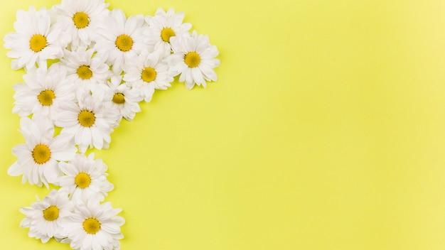 Odgórny widok stokrotka kwitnie