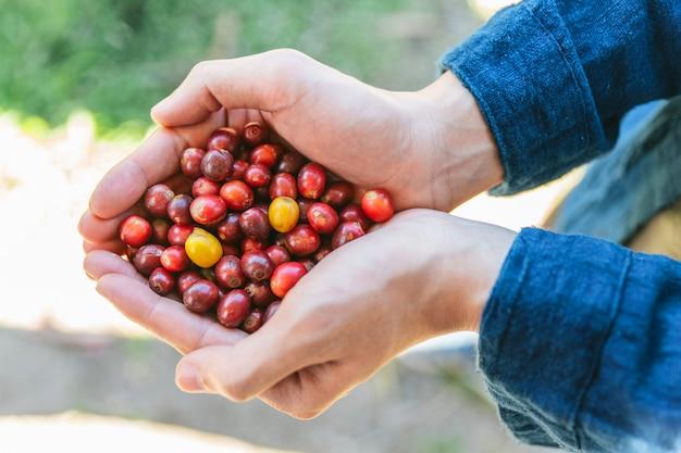 Odgórny widok wskazane dojrzałe czerwone arabica kawowe jagody w rękach w akha wiosce maejantai na wzgórzu w chiang mai, tajlandia.