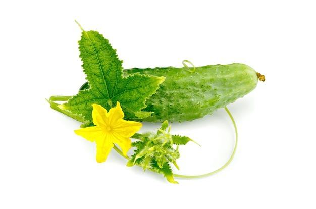 Odizolowane zielone liście, wąsy, żółty kwiat i ogórek