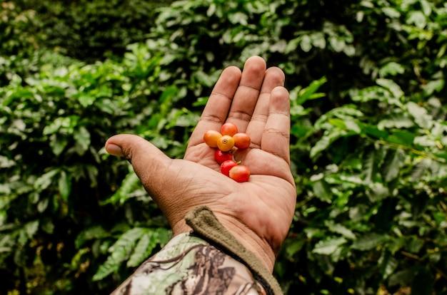 Odkrywanie farmy kawy w gwatemali