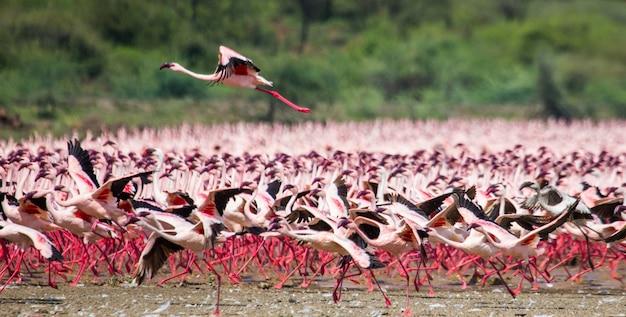 Odlatujące ogromne stado flamingów