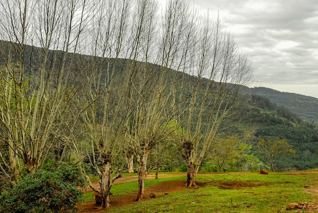 Odliścione drzewa w stanie serra gaucha gramado rio grande do sul w brazylii