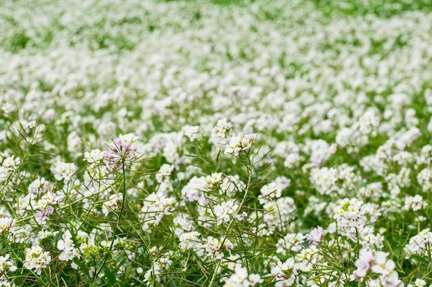 Odłogowane pole pokryte roślinami i kwiatami rakiety białej ściany w pełnym rozkwicie zimą, malta