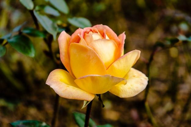 Odmiana róży luis defunes uprawiana w ogrodzie różanym palermo w buenos aires. rośliny ozdobne