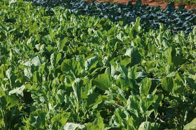 Odmiany roślin warzywnych we wzroście w ogrodzie warzywnym