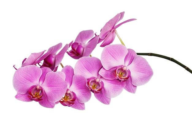 Odosobniona gałąź pięknie kwitnącej, delikatnie różowej orchidei o żółtym zabarwieniu na dolnych płatkach