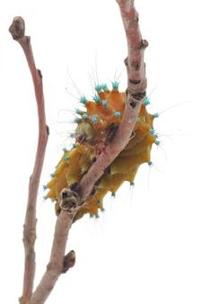 Odosobniona gąsienica