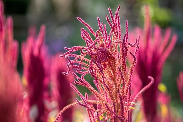 Odosobniona indiańska czerwieni i zieleni amarantowa roślina zaświecająca słońcem na zamazanym kwitnienia polu