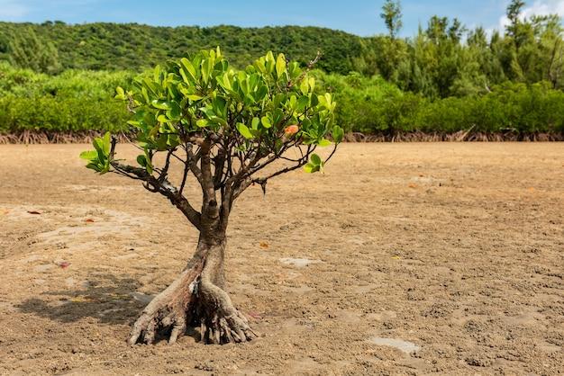 Odosobnione drzewo namorzynowe z grubymi korzeniami w suchych piaskach