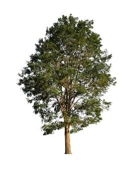 Odosobniony zielony drzewo na białych tło graficznych zasobach.
