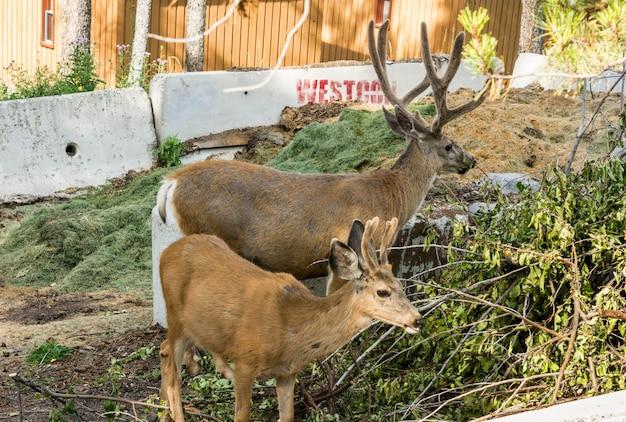 Odpoczynek jelenia. jeleń jedzą trawę