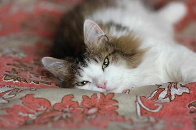 Odpoczywający futrzany kot o pięknych zielonych oczach i wyrazistym spojrzeniu