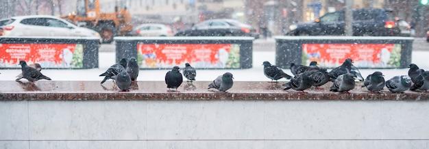 Odważne gołębie przetrwają w mieście w sezonie zimowym b