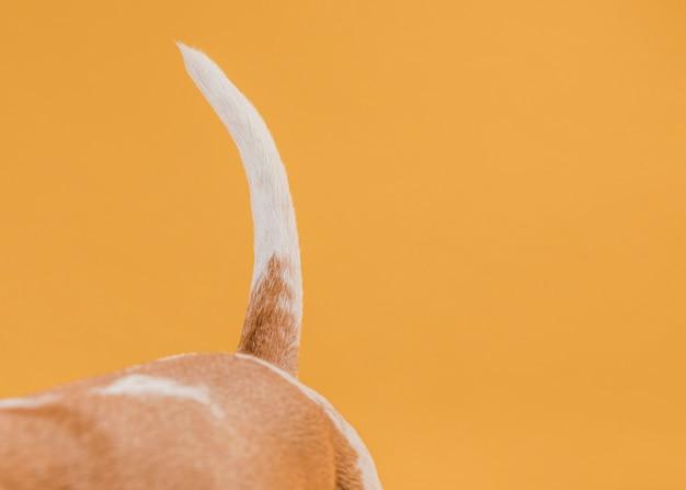 Ogon psa przed żółtą ścianą
