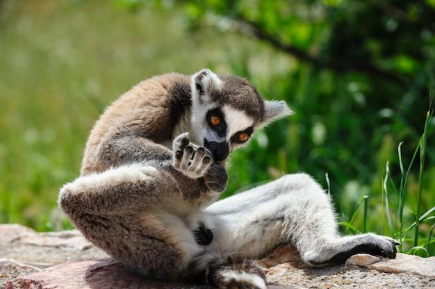 Ogoniasty lemur liże nogę
