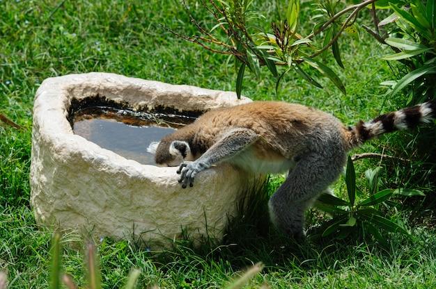 Ogoniasty lemur pije wodę