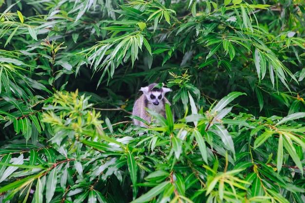Ogoniasty lemur siedzi na drzewie. lemur catta patrzeje kamerę.