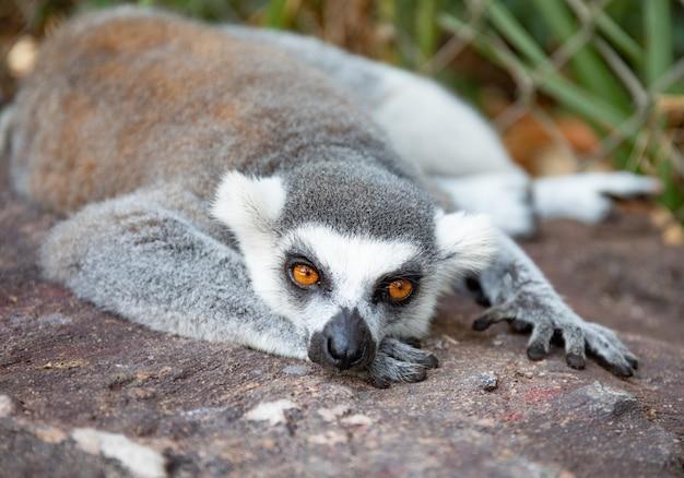 Ogoniasty lemur w dzikiej naturze. lemur catta z bliska portret.