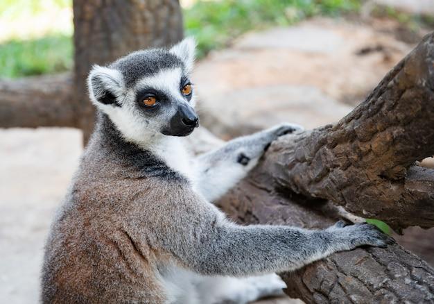 Ogoniasty lemur w dzikiej naturze na gałęzi. lemur catta z bliska portret.
