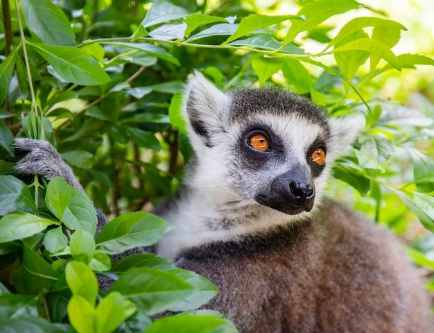 Ogoniasty lemur w dzikiej naturze na tle zielonych liści. lemur catta z bliska portret.