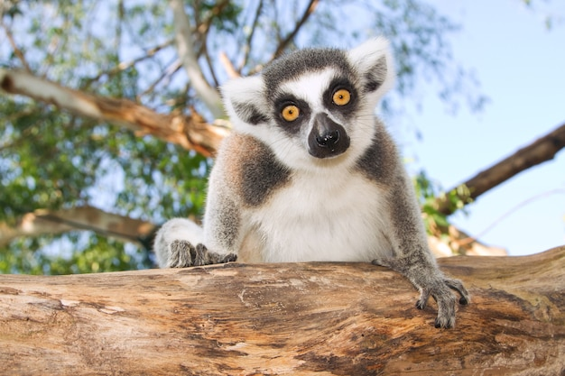 Ogoniasty lemur