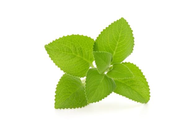 Ogórecznik indyjski, oregano lub plectranthus amboinicus gałąź zielone liście na białym tle.