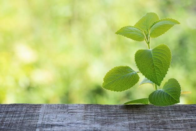 Ogórecznik indyjski, oregano lub plectranthus amboinicus gałąź zielone liście na tle przyrody bokeh.