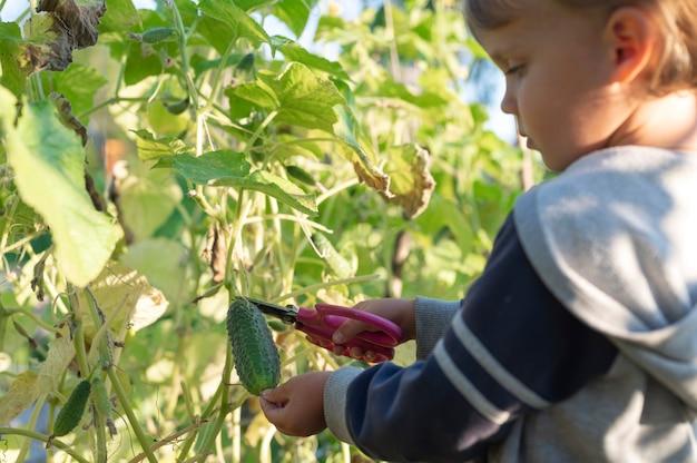 Ogórek w rękach małego chłopca, który zbiera nożyczkami