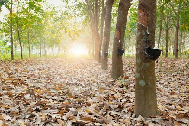 Ogród drzew kauczukowych w azji. naturalny lateks pozyskiwany z gumy para. czarny plastikowy kubek służy do odmierzania lateksu z drzewa.