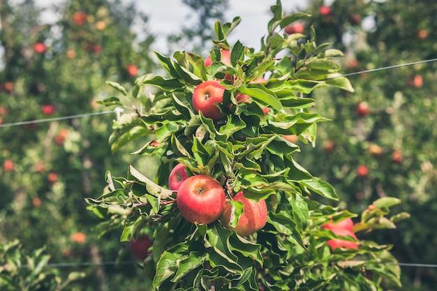 Ogród jabłkowy pełen dojrzałych czerwonych owoców