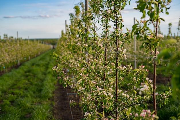 Ogród jabłkowy w rozkwicie w świetle wschodu słońca. shallow dof, skup się na przednich drzewach.