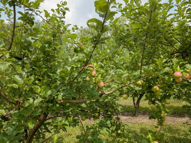 Ogród jabłoni z ekologicznymi owocami w ogrodzie rolniczym przed zbiorami na tle nieba. zdrowe owoce