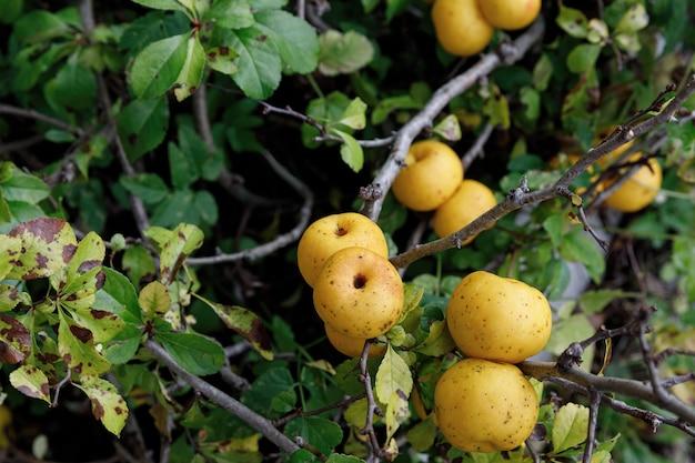 Ogród jest pełen dojrzałych owoców pigwy japońskiej.
