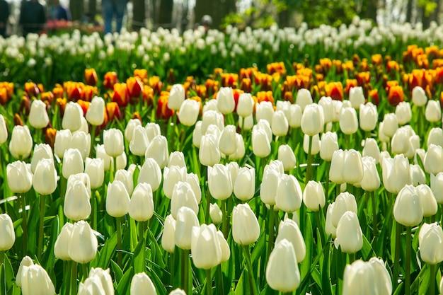 Ogród keukenhof przepiękny kwiatowy w holandii gdzie co roku dopasowuje się kwiat w ogrodzie.