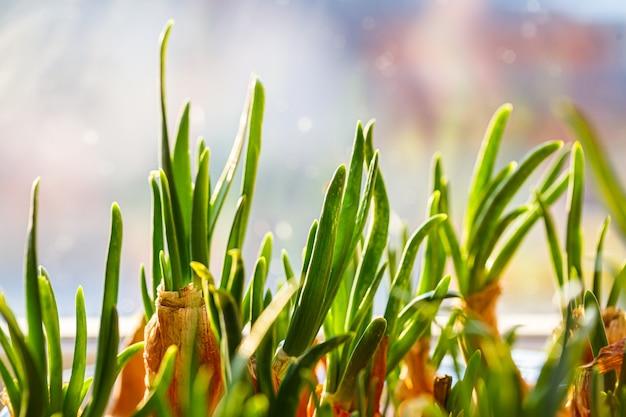 Ogród młodej cebuli na parapecie. uprawa cebuli na parapecie. świeże zielone cebule w domu kryty ogrodnictwo uprawy cebuli dymki w doniczce na parapecie. świeże kiełki zielonej cebuli